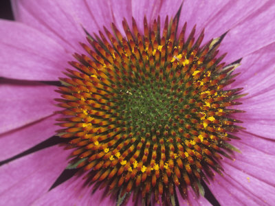Close-Up of Purple Coneflower Ray and Disk Flowers (Echinacea Purpurea), Eastern USA Stretched Canvas Print