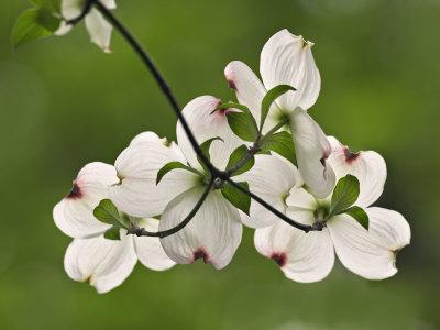 Flowering Dogwood Flowers, Cornus Florida, Louisville, Kentucky, USA Stretched Canvas Print