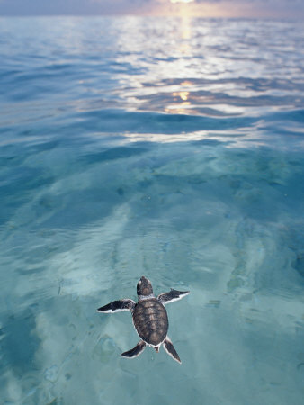 Swimming Baby Green Sea Turtle (Chelonia Mydas), Pacific Ocean, Borneo Stretched Canvas Print