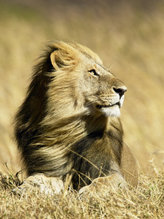 Male African Lion, Panthera Leo, Resting in Savanna Grasses, Masai Mara Game Reserve, Kenya, Africa Stretched Canvas Print