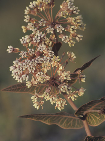 Pinewoods or Pink-Veined Milkweed (Asclepias Humistrata), Southern USA Stretched Canvas Print