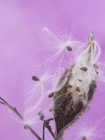 Milkweed Seed Pod Opening and Releasing Seeds (Asclepias), North America Stretched Canvas Print