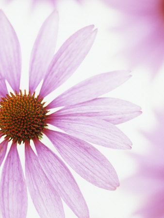 Close-Up of a Coneflower Flower (Echinacea Purpurea), Primadonna Variety Stretched Canvas Print