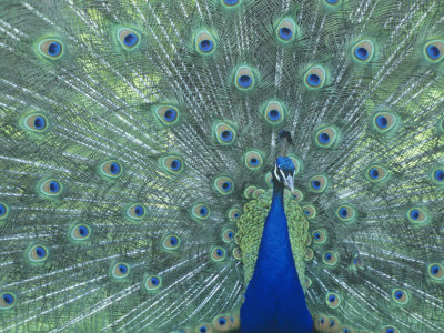 Male Peacock Courtship Display (Pavo Cristatus) Stretched Canvas Print