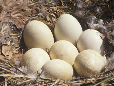 incubation temperature for canada goose eggs