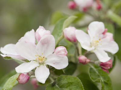 Apple Blossoms and Buds in the Spring Stretched Canvas Print