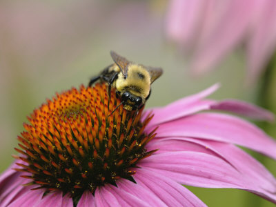Mining Bee, Andrena Spp., and Coneflower, Echinacea Purpurea Stretched Canvas Print