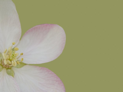 Apple Blossom Stretched Canvas Print