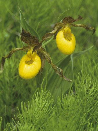 Yellow Lady's Slipper, Cypripedium Calceolus, Orchidaceae, North America Stretched Canvas Print