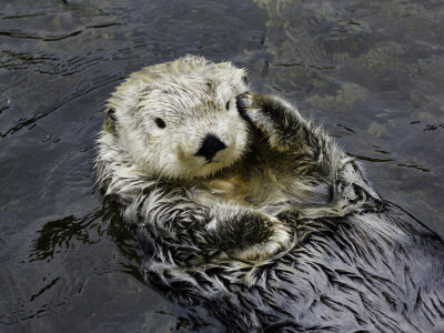 California Sea Otter (Enhydra Lutris), California, USA Stretched Canvas Print