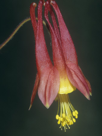 Columbine Flower, Aquilegia Canadensis, North America Stretched Canvas Print