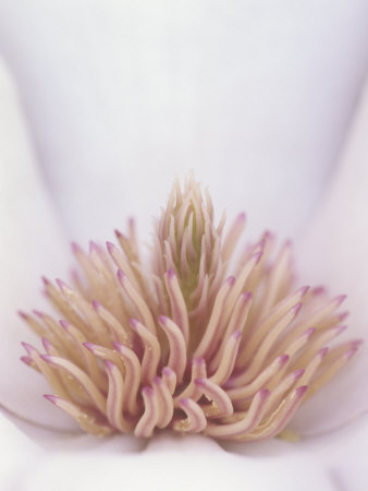 Yulan Magnolia Flower Details, Magnolia Denudata, Originally from China Stretched Canvas Print