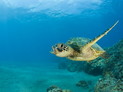 Green Sea Turtle Swimming (Chelonia Mydas), Marshall Islands, Pacific Ocean Stretched Canvas Print