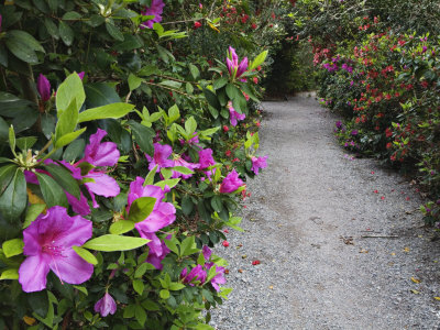 Blooming Rhododendrons Along a Pathway, Magnolia Plantation, Charleston, South Carolina, USA Stretched Canvas Print