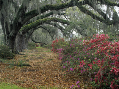 Live Oaks, Quercus Virginiana, and Azaleas, Magnolia Plantation Stretched Canvas Print