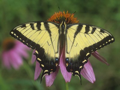 Tiger Swallowtail Butterfly (Papilio Glaucus) Eastern USA Stretched Canvas Print