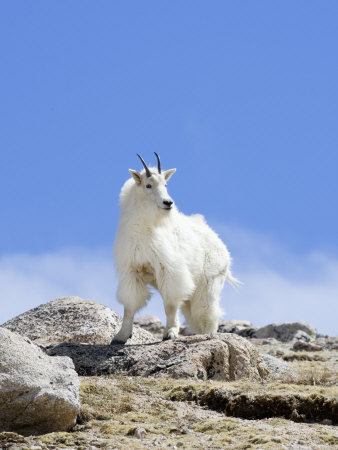 Mountain Goat (Oreamnos Americanus), Colorado, USA Stretched Canvas Print