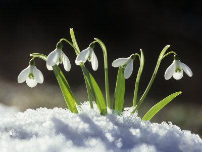 Snowdrop Flowers Blooming in the Snow, Galanthus Nivalis Stretched Canvas Print