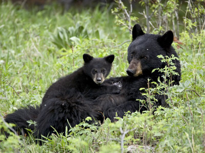 Black Bear Sow Nursing a Spring Cub, Yellowstone National Park, Wyoming, USA Stretched Canvas Print