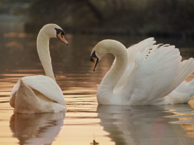 Two Swans on Water Stretched Canvas Print