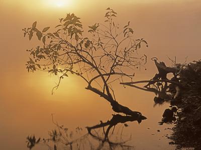 Buttonbush at dawn, Lake of the Ozarks, Missouri, USA Stretched Canvas Print