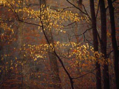 Trees in Autumn Hues in a Foggy Forest Stretched Canvas Print
