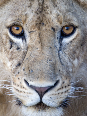 Close-Up of a Lioness, Tarangire National Park, Tanzania Stretched Canvas Print