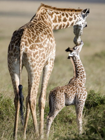 Masai Giraffe with its Calf, Masai Mara National Reserve, Kenya Stretched Canvas Print