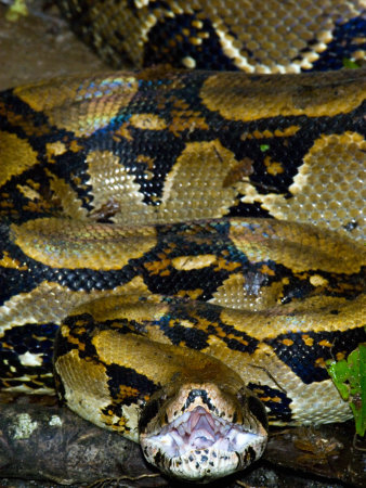 Close-Up of a Boa Constrictor, Arenal Volcano, Costa Rica Stretched Canvas Print