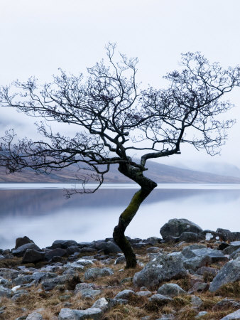 Solitary Tree on the Shore of Loch Etive, Highlands, Scotland, UK Stretched Canvas Print