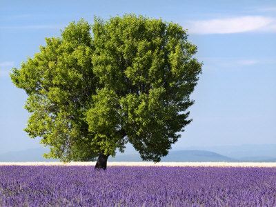 Tree in a Lavender Field, Valensole Plateau, Provence, France Stretched Canvas Print