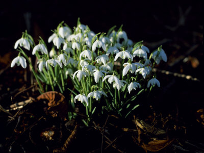 Snowdrops, Lincolnshire, England Stretched Canvas Print