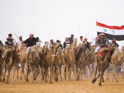 Camel in Paddock, Races Held Every Year as Part of Palmyra Festival, Syria Stretched Canvas Print