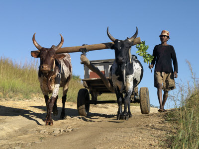 Man Drives His Draught Oxen Pulling a Cart Along a Rural Road Stretched Canvas Print