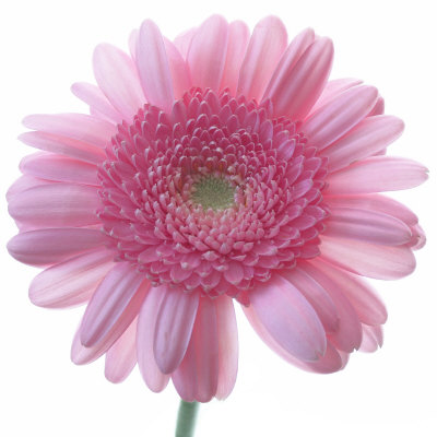 Still Life Photograph, Frontal Shot of a Pink Gerbera, Square Format Image Stretched Canvas Print