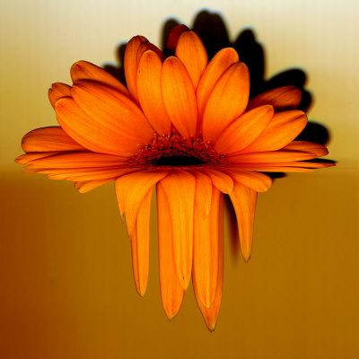 Gerbera Flower Melting, Digital Manipulation Stretched Canvas Print