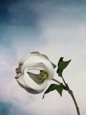 Still Life of a Flower Stretched Canvas Print