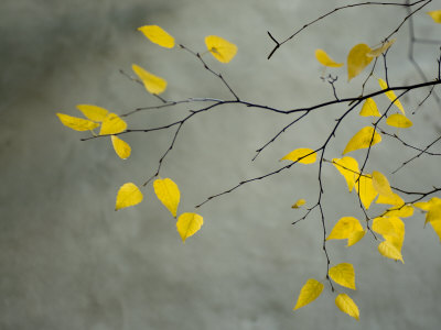 Yellow Autumnal Birch (Betula) Tree Limbs Against Gray Stucco Wall Stretched Canvas Print