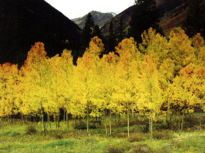 Brilliant Golden Aspen Trees in Rocky Mountains Near Silverton, Southwestern Colorado, USA Stretched Canvas Print