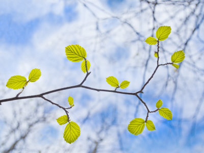 American Beech Leaves on a Branch Stretched Canvas Print