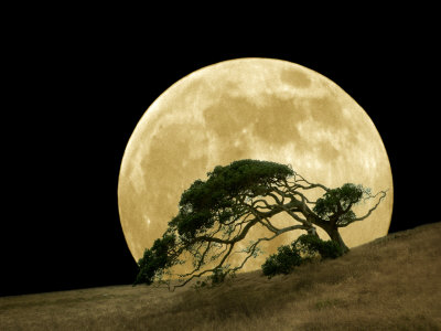 Windswept Live Oak Tree and Rising Full Moon at Night Stretched Canvas Print