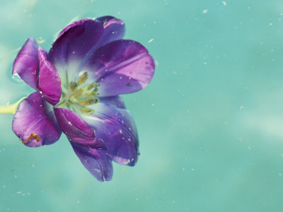 Flower Floating in Water Stretched Canvas Print