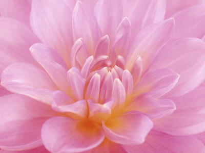 Still Life Photograph, Close-Up of Pink Dahlia Stretched Canvas Print