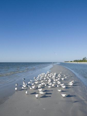 Royal Tern Birds on Beach, Sanibel Island, Gulf Coast, Florida Stretched Canvas Print