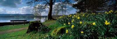 Daffodils at the Lakeside, Lake Windermere, English Lake District, Cumbria, England Stretched Canvas Print