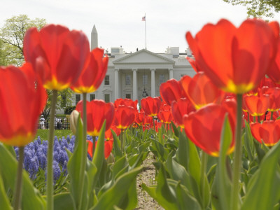 With the White House in the Background, Blooming Tulips in Lafayette Park Frame the White House Stretched Canvas Print