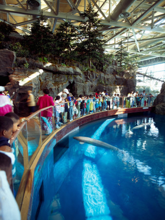 Tourists Watching Beluga Whales in an Aquarium, Shedd Aquarium, Chicago, Cook County, Illinois, USA Stretched Canvas Print