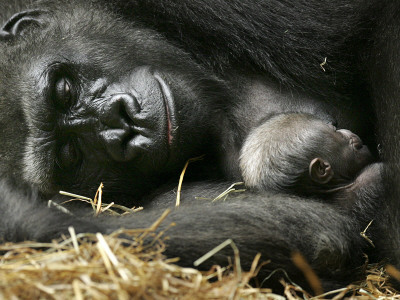 Western Lowland Gorilla, Cradles Her 3-Day Old Baby at the Franklin Park Zoo in Boston Stretched Canvas Print