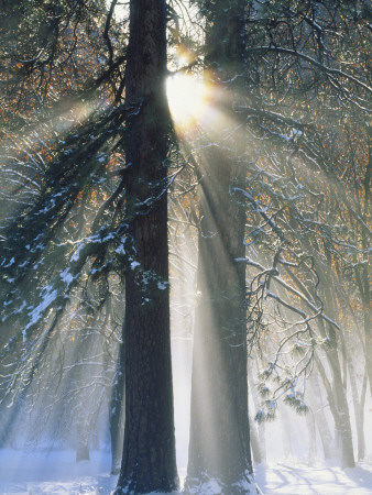 Sun Rays Streaming Through Snow Covered Trees, Yosemite National Park, California, USA Stretched Canvas Print