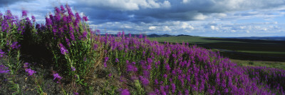 Fireweeds Blowing in Evening Breeze, Mackenzie Mountains, Arctic Circle, Canada Stretched Canvas Print